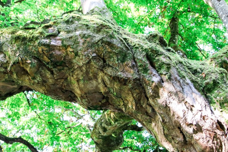 old french tree